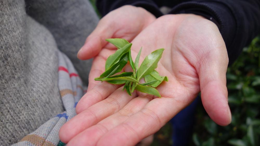【茶畑からの社会貢献】お茶摘とお茶の飲みくらべ体験